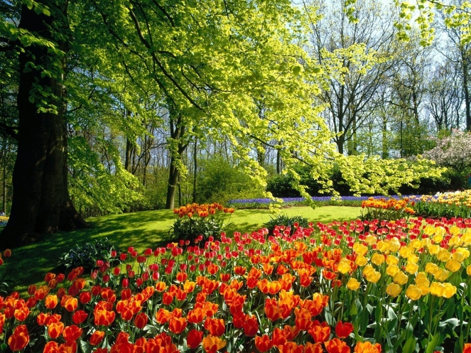 Vår med trær og tulipaner